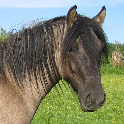 a dun-colored pony with a dark mane